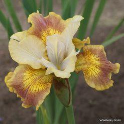 iris sibirica 'Flying Fiddles'