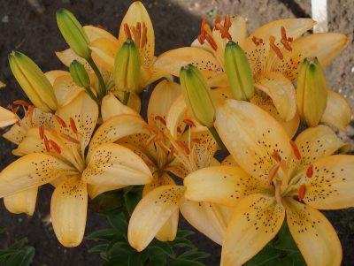 lily 'Abrikosinis Dangus' (2)