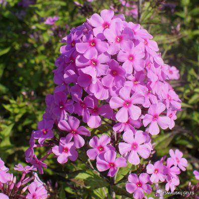 Phlox 'Autumn's Pink Explosion' (2)