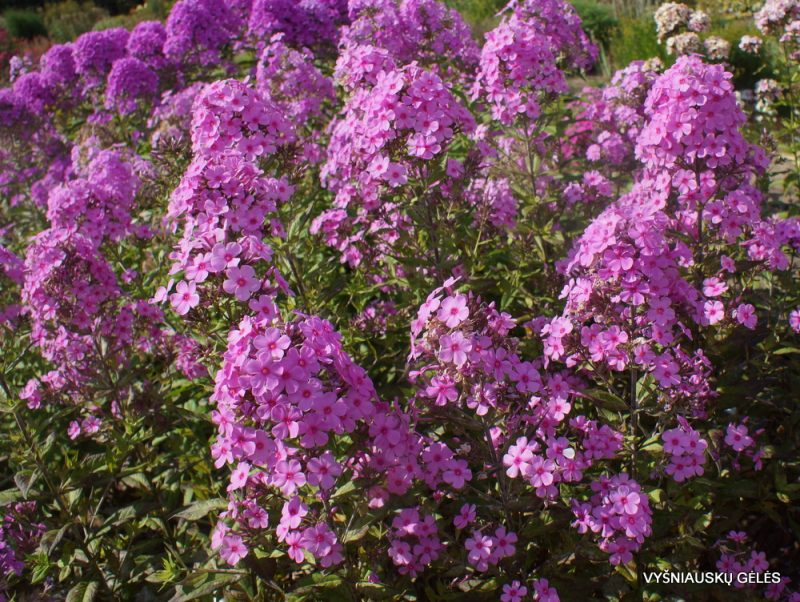 Phlox 'Autumn's Pink Explosion' (4)