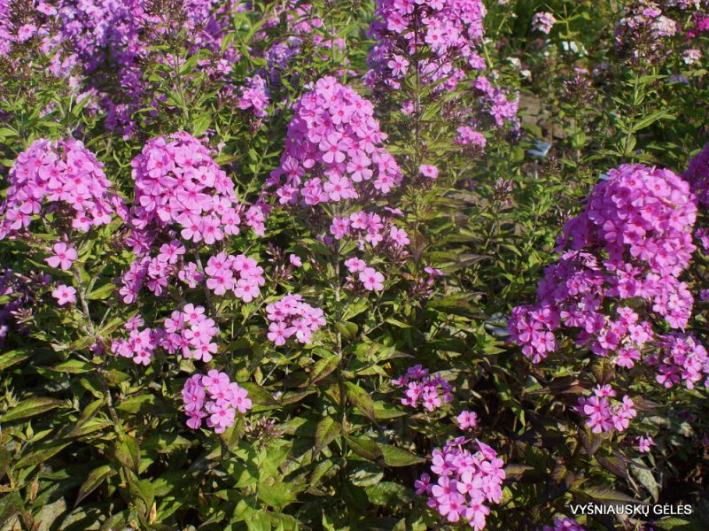 Phlox 'Autumn's Pink Explosion' (5)