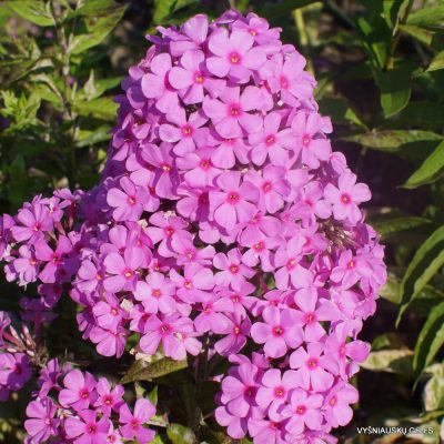 Phlox 'Autumn's Pink Explosion'