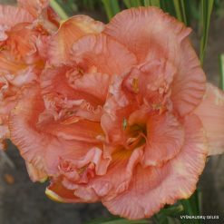 Daylily 'Heavenly Champagne Bubbles'