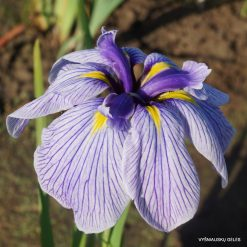 Iris ensata 'Pin Stripe'