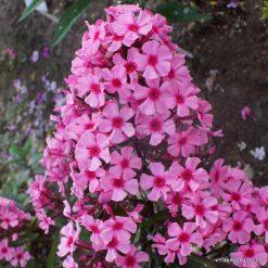 Phlox 'Oleander'