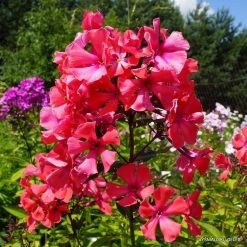 Phlox 'Samantha Smith'