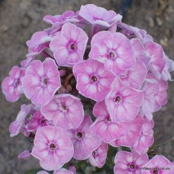 Phlox 'Younique Old Pink'
