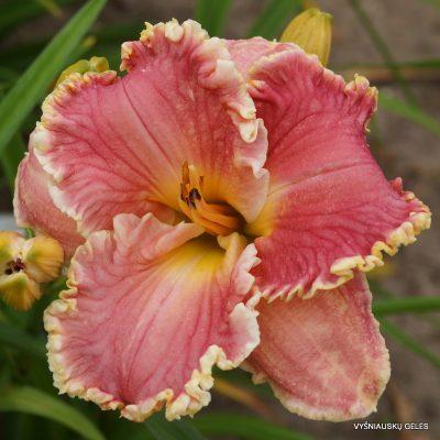daylily 'Butterfly Ann' (2)