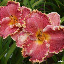 daylily 'Butterfly Ann' (3)