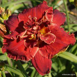 daylily 'Celestial Red Hots'