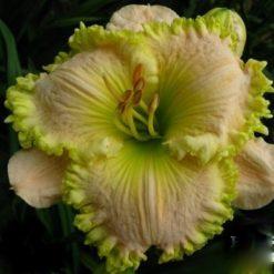 daylily 'Emerald Lace'