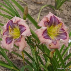 daylily 'Little Surfer Girl'