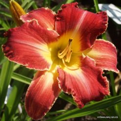 daylily 'Rosy Spiketail'