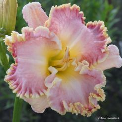 daylily 'Small World Dream World'