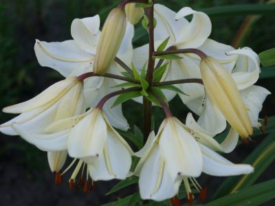 lily 'Angelų Varpai' (2)