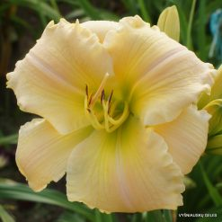 Hemerocallis 'Asheville Summer Breeze'