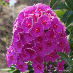Phlox paniculata A (1)