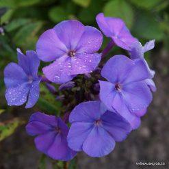 Phlox 'Boguslaw's Blaue'