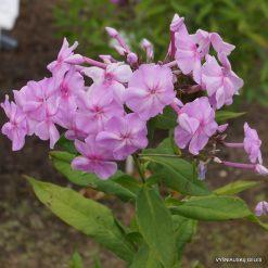 Phlox 'Bosvigo Pink'