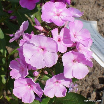 Phlox 'Dresden China'