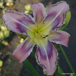 Daylily 'Entwined in the Vine'
