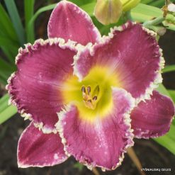 Daylily 'Forbidden Territory'