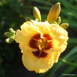 Daylily 'Little Pumpkin Face'