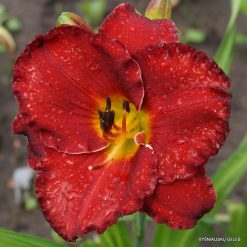 Hemerocallis 'Betty Ford'