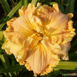 Hemerocallis 'Beyond the Big Bang'
