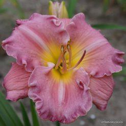 Hemerocallis 'Blue Pink Beauty'