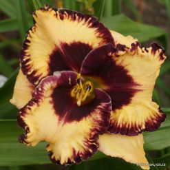 daylily 'Open My Eyes'