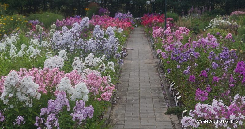 our Phlox collection