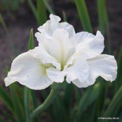 Iris 'Cold Frosty Morning'