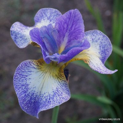 Iris 'Emily Ann'