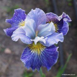 Iris Fresh Notes
