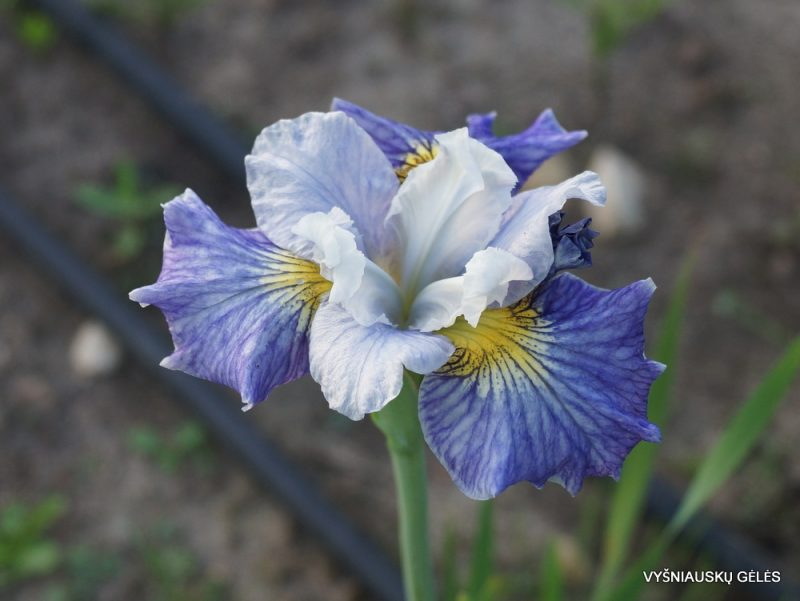 Iris Fresh Notes (3)