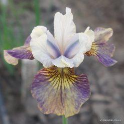 Iris 'Prophet's Kiss'
