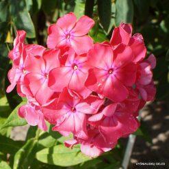 Phlox 'Benedicta Amalie' (2)