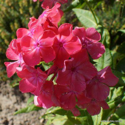 Phlox 'Benedicta Amalie'