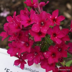 Phlox 'Early Red'