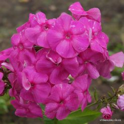 Phlox 'Juliana Elisabet'