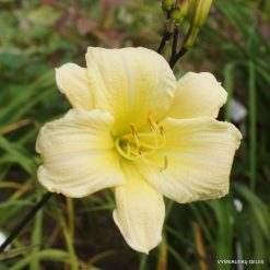 Daylily 'From Darkness Comes Light'