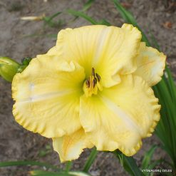 Daylily 'From Here to Eternity'