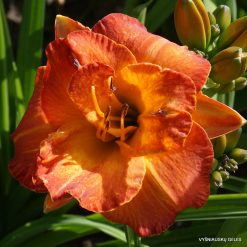Daylily 'Glorious Autumn'