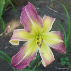 Hemerocallis 'Binders of Women'