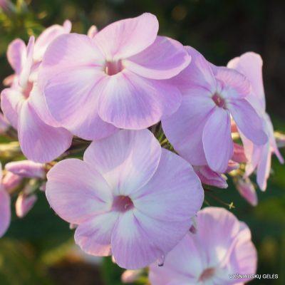Phlox 'Daisy Field'
