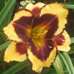 Daylily 'Magnify the Lord'