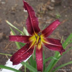 Daylily 'One More Bud'