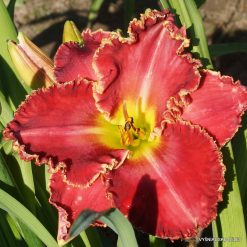 Daylily 'Painting the Roses Red'