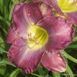 Daylily 'Searching for Blue'